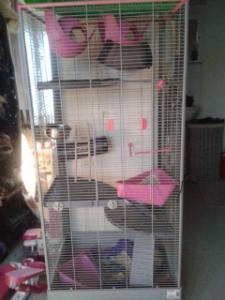 3 rats d'un an et demi cherchent foyer d'ugence Mini_322572111459641064654850231334756795149n