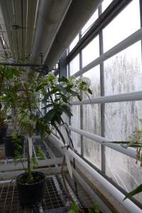 Quelques arbustes tropicaux en fleurs  Mini_342883P1080967