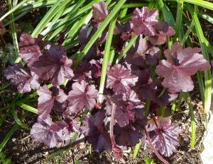 quelques plantouilles au jardin, en ce moment ! Mini_352996HObsidian