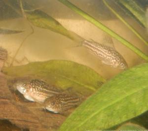 Ménagerie, plus de 3.000L d'aquariums - Page 2 Mini_361077CorydorasNapoensis0005