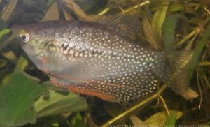 Ménagerie, plus de 3.000L d'aquariums - Page 2 Mini_370230GouramiPerl0001