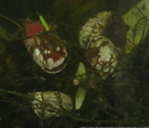 Ménagerie, plus de 3.000L d'aquariums - Page 2 Mini_393675EscargotAutres0011