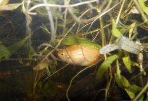 Ménagerie, plus de 3.000L d'aquariums - Page 2 Mini_406215GouramiMiel0014