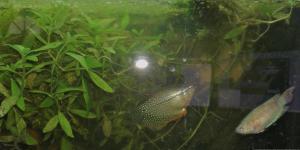 Ménagerie, plus de 3.000L d'aquariums - Page 2 Mini_427515GouramiPerl0054
