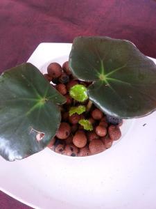 bégonias nénuphar - Begonia 'Erythrophylla'  - Page 2 Mini_42928220140815110132
