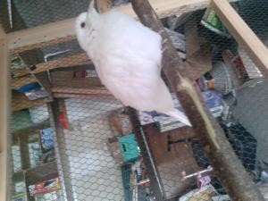 Besoin d'une grande d'aide !!! J'ai trouvé une colombe dehors. Mini_43884520130416160248