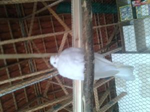 Besoin d'une grande d'aide !!! J'ai trouvé une colombe dehors. Mini_44883120130416160232