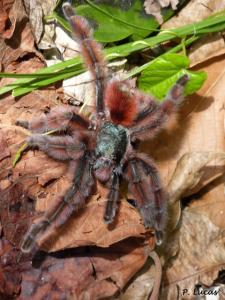 Arachnides - Arachnida