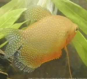 Ménagerie, plus de 3.000L d'aquariums - Page 2 Mini_454504GouramiPerl0004