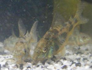 Ménagerie, plus de 3.000L d'aquariums Mini_492393CorydorasPaleatus0007