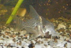 Ménagerie, plus de 3.000L d'aquariums Mini_503965CorydorasSchwartzi0004