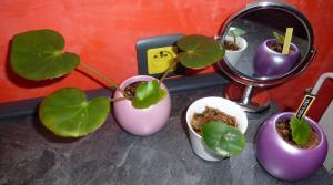 Mes plantes-boutures rescapées de cet hiver... Mini_5086746204