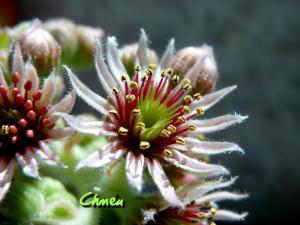 Sempervivum (joubarbe) et Aeonium arboreum  Mini_509885P1110762