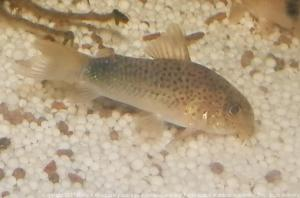 Ménagerie, plus de 3.000L d'aquariums Mini_539823CorydorasSimilis0017