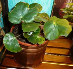 Mes plantes-boutures rescapées de cet hiver... Mini_54075810Berythrophylla