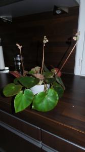 bégonias nénuphar - Begonia 'Erythrophylla'  - Page 2 Mini_54342920151231171918