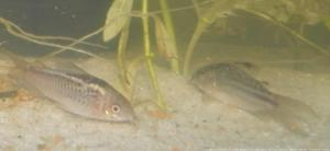 Ménagerie, plus de 3.000L d'aquariums - Page 2 Mini_549454CorydorasElegans0020