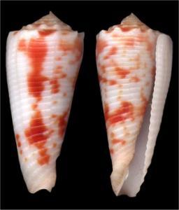 Conus (Phasmoconus) merleti  (Mayissian, 1974) voir Conus (Ph) moluccensis - Page 3 Mini_552067merleti473
