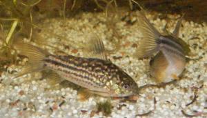Ménagerie, plus de 3.000L d'aquariums - Page 2 Mini_554514CorydorasNapoensis0022