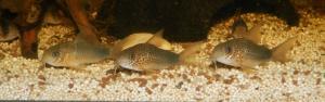 Ménagerie, plus de 3.000L d'aquariums - Page 2 Mini_569270CorydorasSimilis0069