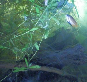 [Poubellarium 2015] Horlack : Corydoras, Killies Mini_574059149