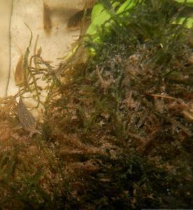 Ménagerie, plus de 3.000L d'aquariums - Page 2 Mini_585146CorydorasSimilis0059