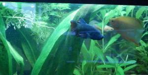 Ménagerie, plus de 3.000L d'aquariums - Page 2 Mini_596110BettaMles0073