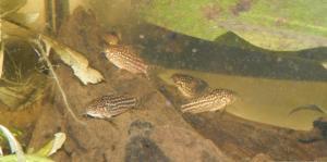 Ménagerie, plus de 3.000L d'aquariums - Page 2 Mini_611634CorydorasNapoensis0020