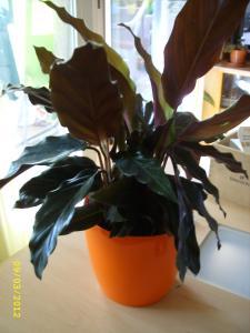 Calathea Rufibarbara Mini_616272STP81424