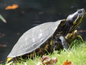 Les tortues du jardin botanique de Tours Mini_616786DSCN0449