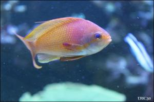 Le bac du moment - n°3 Mini_616838Anthias