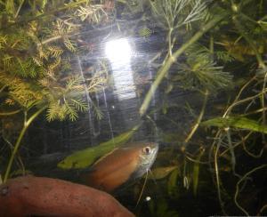 Ménagerie, plus de 3.000L d'aquariums - Page 2 Mini_627882GouramiMiel0021