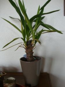 Yucca : ses feuilles s'enroulent à l'extrémité et jaunissent Mini_630013DSC02042