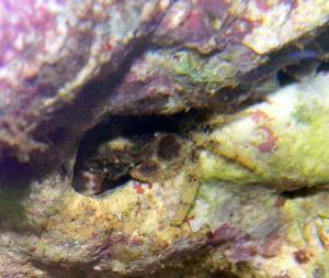 Crabe à identifier Mini_635004DSCN4636