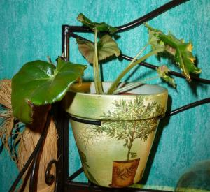 Mes plantes-boutures rescapées de cet hiver... Mini_64866108Berythrophyllabunchii