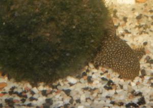 Ménagerie, plus de 3.000L d'aquariums - Page 2 Mini_664787Ancistrus0028