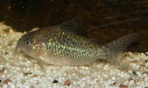 Ménagerie, plus de 3.000L d'aquariums Mini_667525CorydorasSodalis0002