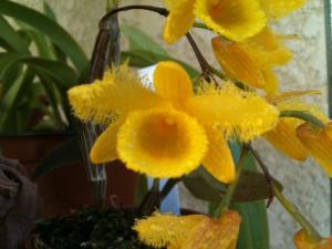 Dendrobium harveyanum Mini_669742FleurDendrobiumharveyanu