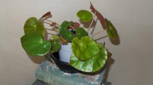 bégonias nénuphar - Begonia 'Erythrophylla'  - Page 2 Mini_67160120150929172334