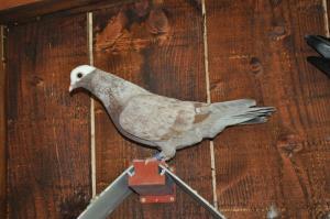 Pigeons de vol catalans à tête de moine Mini_677028pigeons11055