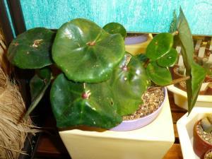 Mes plantes-boutures rescapées de cet hiver... Mini_73525612Bconchifolia