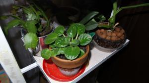 bégonias nénuphar - Begonia 'Erythrophylla'  - Page 2 Mini_74646620151231172327