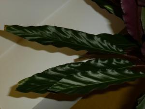 Calathea Rufibarbara Mini_756458P1000680