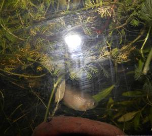 Ménagerie, plus de 3.000L d'aquariums - Page 2 Mini_756836GouramiMiel0015