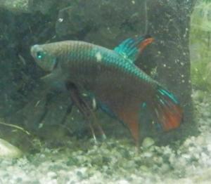 Ménagerie, plus de 3.000L d'aquariums - Page 2 Mini_767963BettaMles0003