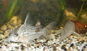 Ménagerie, plus de 3.000L d'aquariums Mini_770988CorydorasSchwartzi0003