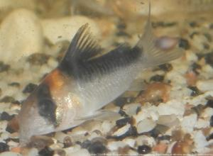 Ménagerie, plus de 3.000L d'aquariums Mini_771744CorydorasAdolfoi0001