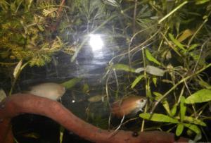 Ménagerie, plus de 3.000L d'aquariums - Page 2 Mini_774527GouramiMiel0022