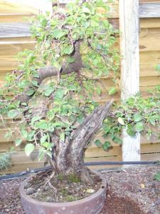 Prunus mahaleb No 2 Mini_778394DSC00571