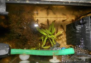 Ménagerie, plus de 3.000L d'aquariums - Page 2 Mini_802000CorydorasSimilis0047